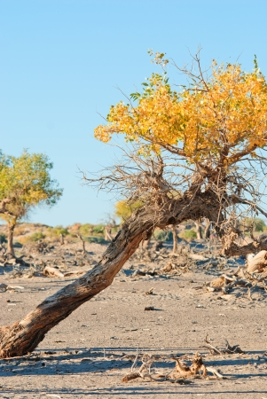 desertification: Populus and dying populus in desert