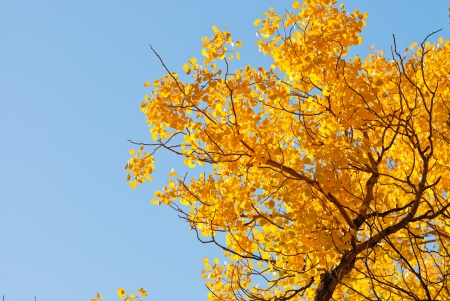 toptree of populus in autumn, Inner-Mongolia, China photo