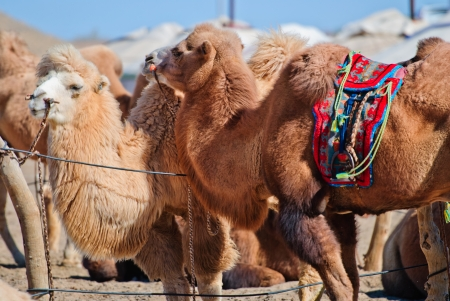 some camel in desert, Inner-Mongolia, China photo