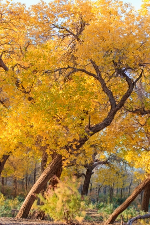 populus forest in autumn, Inner-Mongolia, China photo