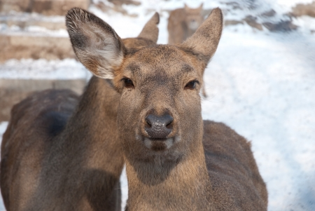 the closeup of a deer photo