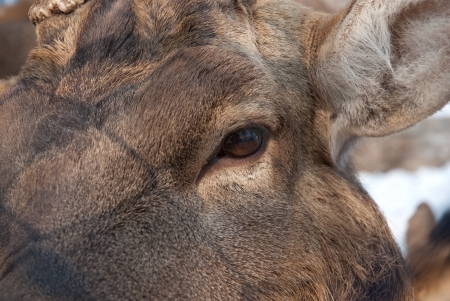 black tail deer: the closeup of a deer