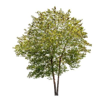 Isolated Tree on White Background Standard-Bild