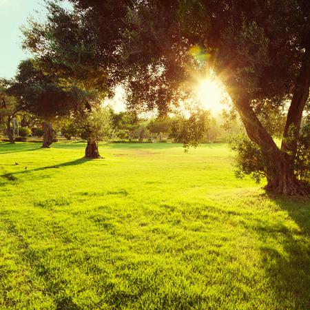 Olivovníky v parku při západu slunce Reklamní fotografie