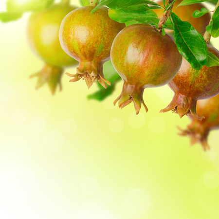 torah: Pomegranate tree over blurred green background Stock Photo