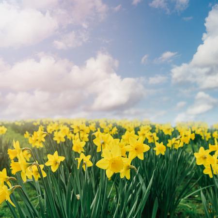 daffodil: Daffodil flower field over blue sky Stock Photo
