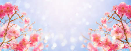 Beautiful cherry blossom flowers over blurred background. Spring season concept 免版税图像