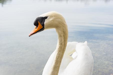 brine: Close-up of a Graceful Swan at the Lake