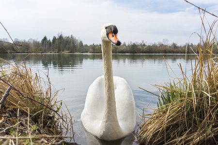 Close-up of a Graceful Swan at the Lake
