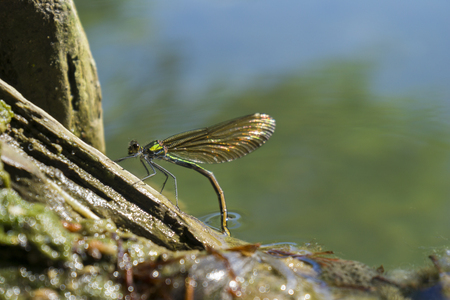 brine: View on a female Dragonfly (Odonata) at Oviposition