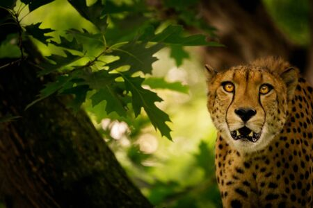 Close-up of a Leopard (Panthera pardus) with an open mouth on a tree looking into the camera.