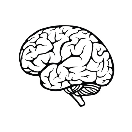 Vector outline illustration of human brain on white background