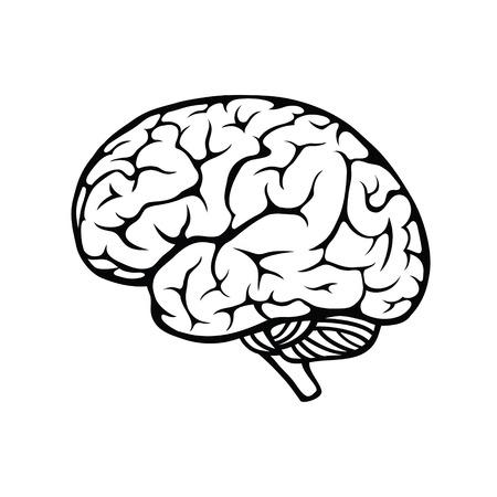 Vector outline illustration of human brain on white background