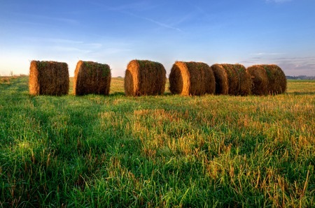 Haystacks on the field. Straw bales drying on a green grass in summer season, Poland. photo