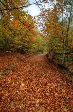 thicket: Forest landscape. Pathway through the autumn forest. Road framed by colorful autumn leaves in the dense thicket.