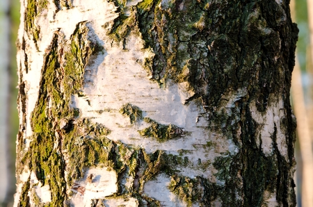 deciduous woodland: Tree trunk. Deciduous tree, birch with white bark.
