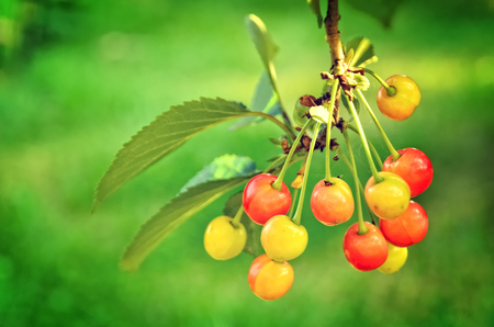 yellowish: Cherry tree in the sunny garden. Unripe and yellowish cherries on a branch before harvest in early summer.