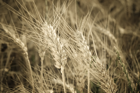 fodder corn: Grain field. Close-up of ear of wheat, ready to be harvested. Stock Photo