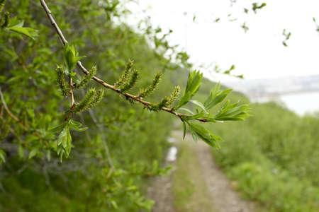 green_branch
