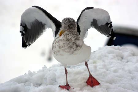 sea gull takes off in the snow