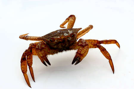 Marine crabs on a white background
