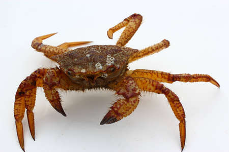 Marine crabs on a white background photo