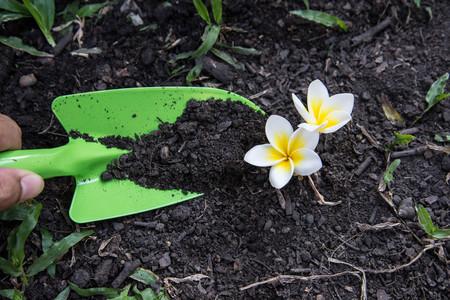 plumeria flower: Shovel spoons digging soil and Plumeria flower