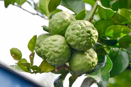 bunch up: Close up of bunch bergamot