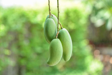 Bunch raw mango Stock Photo