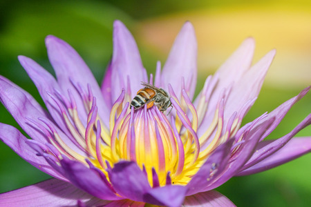 Pink lotus with bee is collecting nectar from pollen with sun ray