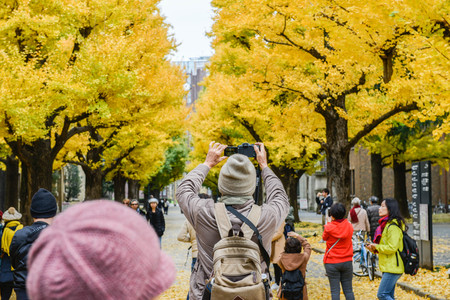 Dec 2016 in Tokyo Japan - People are taking the photo of Ginkgo leaves in Tokyo University Editorial