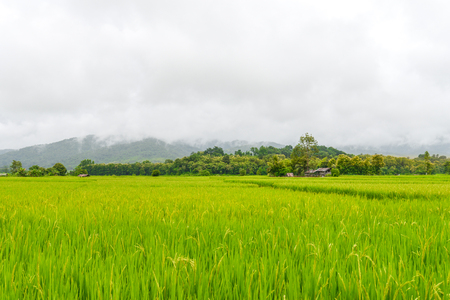 landscape of rice field at Pua district, Nan in Thailand Stock Photo
