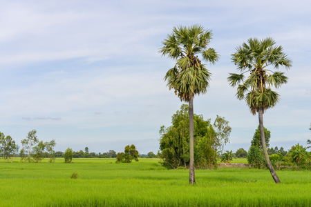 Sugar palm in the rice field
