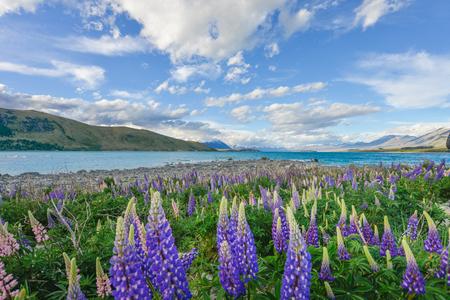 Lupine Flower at lake Tekapo