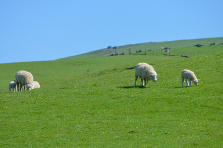 New Zealand sheep on the meadow Stock Photo