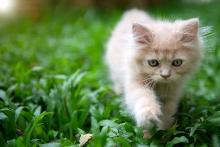 Cute little blue eyes cat walking on the grass Standard-Bild - 106658908