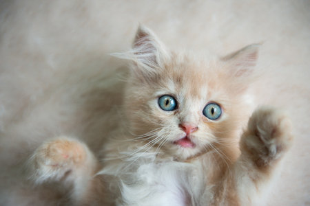 Cute little blue eyes cat Lying up on the floor Standard-Bild - 106658942