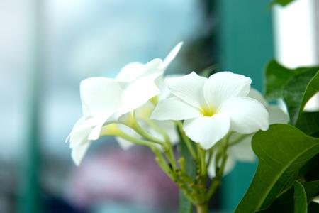 Close up of white Plumeria Standard-Bild - 106658989