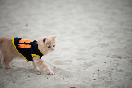 Cute cat with shirt walking on the sand