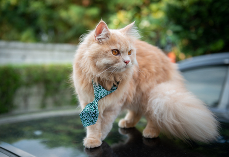 Cute cat with tie on the car loop Standard-Bild - 118979961