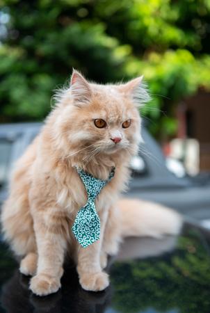 Cute cat with tie on the car loop Standard-Bild - 118979964