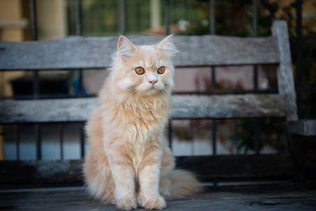 Cute yellow cat sitting on the wooden chair Standard-Bild - 118979969