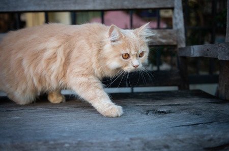 Cute yellow cat walking and ambush on the wooden chair Standard-Bild - 118980299