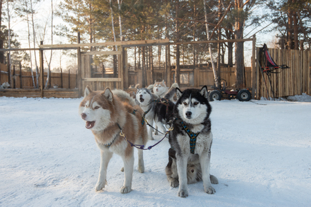 Group of Siberian Husky Dog sled are sitting and standing on the snow