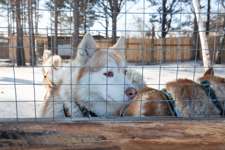 Siberian husky dogs in the outdoor dog stall