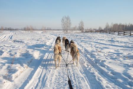 Group of Siberian Husky Dog sledding on the snow