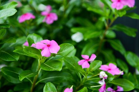 Beautiful Pink Flower of Watercress in the garden