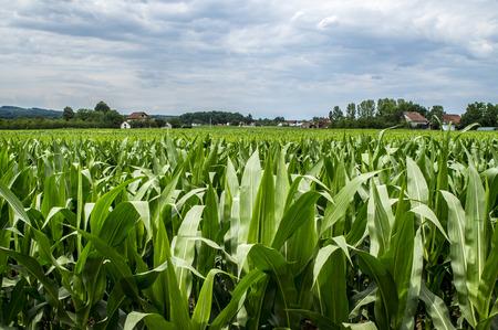 herzegovina: Photographed corn field in northern Bosnia and Herzegovina.