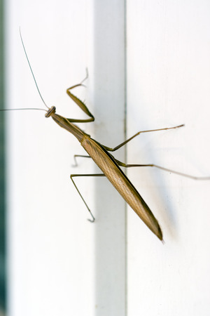 mantis: Mantis on the window. Stock Photo