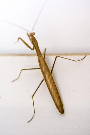 mantis: Mantis on the window